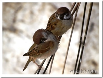 sparrows by Vivek Tailor