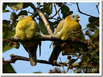 yellow feet green pigeon